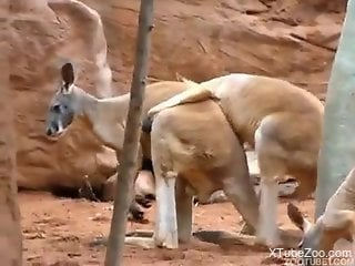 Kinky kangaroos fucking while out in the open